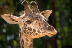World Giraffe Day 2017 (helenehoffman) Tags: africa roho conservationstatusvulnerable masaigiraffe sandiegozoo giraffatippelskirchi kilimanjarogiraffe mammal giraffe animal worldgiraffeday