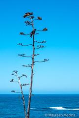 Raven Lifeguard Lookout (Maureen Medina ArtiZenImages Photography) Tags: maureenmedina artizenimages california beach raven centuryplant ocean sea