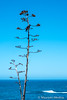 Raven Lifeguard Lookout (Maureen Medina) Tags: maureenmedina artizenimages california beach raven centuryplant ocean sea