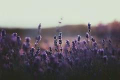 Lavender. pt 1 (coral staley-hall) Tags: canon 85l bokeh lavender sunset purple 85mm 12l