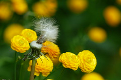 (evisdotter) Tags: dandelion maskros frön buttercups ranunculus ranunkel light colors macro bokeh sooc flowers blommor coth5