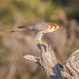 Falco chicquera: Red-necked Falcon