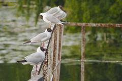 P1440744 (Sergei Spiridonov) Tags: seagull manualfocusing jupiter37a13535