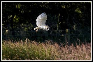 IMG_0064 Barn Owl