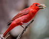Yum, Yum! (backyardzoo) Tags: sunrays5 tanager summer orange bug insect brightlycolored red coth5