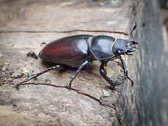 Lucanus cervus (f) Stag Beetle (mickmassie) Tags: coleoptera gardentq209783 insecta lucanidae