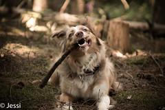 My stick (Felicis_Flower) Tags: stock stick hund dog animal tier pet haustier australianshepherd redmerle wald forest wood holz tree baum