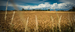 Cloudy 02 (nicolamariamietta) Tags: field grain cereal clouds cloudy sky colors blu farm outside summer bokeh sony a7 28mm canonfd landscape depthoffield scenic nature nobody