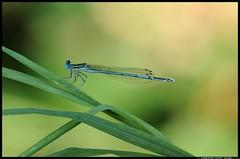 DSC_1019-06-08-1 - Platycnemis pennipes maschio (r.zap) Tags: rzap parcodelticino platycnemispennipesmaschio