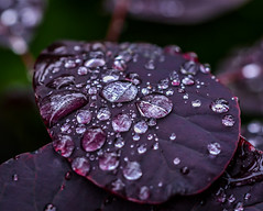 Purple Rain. (Omygodtom) Tags: raindrop waterdrops leaves leaf tamron texture tamron90mm nikkor digital contrast wet flora day colours colorful nature natural nikon dof pov d7100 7dwf brown lens