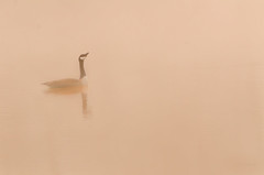 lonesome goose (jeff.white18 (starting over)) Tags: goose canadagoose reflection water bird mist nature wildlife