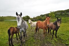 5 beauties. (carolinejohnston2) Tags: ireland lake countryside northernireland horses foal mare animals pets equine landscape fermanagh