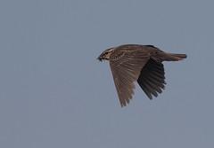 rwbl-ad-f-easterncimarronco-6-10-17-tl-02-cropscreen (pomarinejaeger) Tags: keyes oklahoma unitedstates bird redwingedblackbird agelaiusphoeniceus