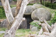 2017-06-05-12h57m48.BL7R7125 (A.J. Haverkamp) Tags: bokito canonef100400mmf4556lisiiusmlens rotterdam zuidholland netherlands zoo dierentuin blijdorp diergaardeblijdorp httpwwwdiergaardeblijdorpnl gorilla westelijkelaaglandgorilla dob14031996 pobberlingermany nl