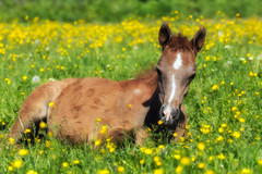 Life amongst the buttercups (FocusPocus Photography) Tags: fohlen foal araber araberpferd pferd horse arabian arab tier animal marbach haupt und landgestüt