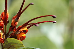 Orange Marmalade (Gillian Everett) Tags: grevillea orange queensland marmalade flower nectar 365 2017 mdpd2017 mdpd201707