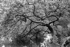 LakeTree I_bw (Joe Josephs: 3,166,284 views - thank you) Tags: joejosephs â©joejosephs2017 centralpark travelphotography travel nyc ©joejosephs2017 newyorkcity manhattan urbanparks peaceful tranquil blackandwhitephotography blackandwhite