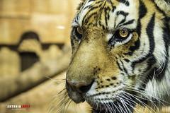 LA MIRADA DEL TIGRE (Antonio López Fotografía) Tags: eye tigre zoo gato felino ojos cadiz antonio lopez nikon nikond750