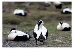 Hitching (Mirko Daniele Comparetti) Tags: sj norvegia norway svalbard animali animals arctic artico birds faunaselvatica spedizionearticasvalbard2017 uccelli web wildlife