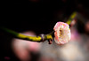 Flowering Apricot 梅花 Prunus Mume (eggwah123) Tags: olympus olympusem5 em5 mzuiko mzuiko60mmf28 mirrorless microfourthirds micro43 m43 m43m43 olympusolympusem5em5mzuikomzuiko60mmf28mirrorlessmicrofourthirdsmicro43m43m43m43flowerpinkflowerapricotprunuswinterbokehdofdepthoffieldlightroom5closeupmacromacroloversmacrolens prunusmume flower macro flowering apricot 梅花 depthoffield dof bokeh prunus closeup pink pinkflower lightroom lightroom5