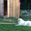 Baloo has a job (ekpatterson) Tags: july 2017 baloo dog greatpyrenees livestockguardiandog chicks chickens poultry australorp ameraucana chickencoop