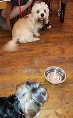 Flo Yorkie Poo Dog and Dudley at Kavanagh's Tea Room Church Passage Oakham Rutland (@oakhamuk) Tags: flo yorkiepoo dog dudley kavanaghstearoom churchpassage oakham rutland