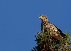 Bald Eagle...#13 (immature eagle) (Guy Lichter Photography - 3.5M views Thank you) Tags: canon 5d3 canada manitoba hecla wildlife animal animals bird birds eagle eagles baldeagle immature