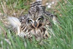 Short-eared owl 47 (brandugla) (Svenni and his Icelandic birds.) Tags: asioflammeus brandugla shortearedowl