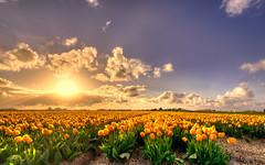 In Holland we're so rich we grow flowers of pure gold. (Alex-de-Haas) Tags: oogvoornoordholland 1635mm d750 dutch europe hdr holland nederland nederlands nikkor nikon noordholland thenetherlands bloei bloem bloemen bloemenbijeenkomst bloemenveld clouds flower flowerfields flowerbed flowers landscape landschap lucht nature natuur plant skies sky sol sun sundown sunset tulip tulipfields tulipa tulips tulp tulpen tulpenvelden wolken zon zonsondergang