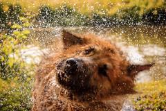 Lola (juanmartinez81) Tags: dog dogs germanshepherd germanshepherddog gsd summer water alsatian