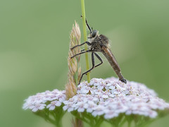 Robber fly (Asilidae) (gerry_me) Tags: robber fly insect macro closeup outdoor wildlife natur asilidae