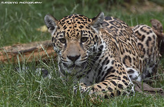 Jaguar - Zoo Krefeld (Mandenno photography) Tags: dierenpark dierentuin dieren duitsland animal animals germany jaguar young krefeld zookrefeld zoo bigcat big cat