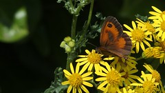 Gatekeeper (Nick:Wood) Tags: butterfly insect wildlife nature pyroniatithonus knowle solihull