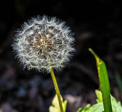 Dandelion (Shawn Blanchard) Tags: northcarolina nc raleigh flower dandelion arboretum white green macro color grass seed