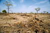 Cleared land (CIFOR) Tags: africa dry ouagadougou forestpolicy landuse environmentalimpact nebbou carbon cifor stocks dryforests landdegradation dryland burkinafaso tree capacity systematicreview emissions degradation casestudies deforestation climatechange horizontal branches