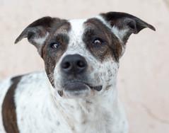 DDC-Pale (d2roberts) Tags: dailydogchallenge ddc pale rylee mutt heinz57 adopt rescue
