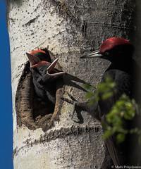 Palokärki (Dryocopus martius), Black woodpecker (pohjoma) Tags: lintu palokärki dryocopusmartius blackwoodpecker bird woodpecker canoneos7dmarkii canonef100400mmf4556lisiiusm finland