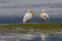 american white pelicans cowichan bay bc (lee barlow) Tags: d7200 americanwhitepelican birdsofbritishcolumbia birdsofcanada birdsofnorthamerica britishcolumbia canada leebarlow nikon pelecanuserythrorhynchos vancouverisland