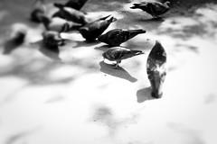 lunch in the fresh air (margycrane) Tags: blackwhite birds pigeons gołębie