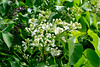 28052017-DSCF7039-2 (Ringela) Tags: syren ludvika maj 2017 sweden fujifilm xt1 syringa vulgaris common lilac lilas français commun flower white