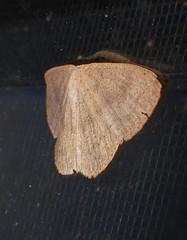 Speckled Geometrid wave moth Prasinocyma sp Geometridae Airlie Beach P1010196 (Steve & Alison1) Tags: speckled geometrid wave moth prasinocyma sp geometridae airlie beach