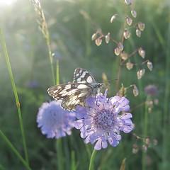 Scabieuse (nathaliedunaigre) Tags: macro nature scabieuse papillon butterfly fleur flower wildflowers fleursdeschamps carré square champ field prairie