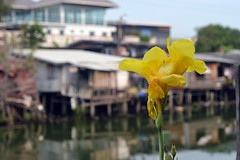 canna lily along the canal (the foreign photographer - ฝรั่งถ่) Tags: mar192016nikon yellow canna calla lily lat phrao khlong canal flower bangkhen bangkok thailand nikon d3200