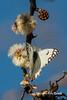 Butterfly and blossom (10b travelling / Carsten ten Brink) Tags: 10btravelling 2016 africa african afrika afrique belenoisaurota bushmen carstentenbrink conservancy iptcbasic khoisan naankuse namibia namibian namibie namibië nyaenyae people places san southwestafrica southwest suidwesafrika südwestafrika windhoek blossom butterfly ethnic firstnation group huntergatherer indigenous sanctuary south southern southwestern tenbrink tribe wildlife