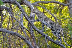 Leopard (Robert Styppa) Tags: leopard afrika africa botswana mashatu nikond610 tamron150600 robertstyppa cub junger leopardin mutter mum