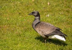 Brant Goose - Branta bernicla (stefanvanschaik) Tags: brant goose branta bernicla