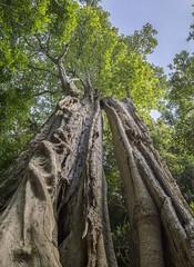 Giant stinging tree, Bellawongarah (Australia) (Illawarra Nature Photography) Tags: rainforest giant stinging australia nsw bellawongarah tall nature dendrocnide excelsa fibrewood gimp gimpie canon 6d