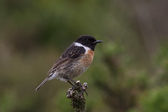 stonechat (colin 1957) Tags: stonechat dartmoor chats