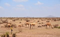 Somali Region (Ethiopia) - Camels (Danielzolli) Tags: ethiopia äthiopien etiopia habasha ኢትዮጵያ etiopija эфиопия somali somaliregion kilil5 camel chameau kamel dromedar geel