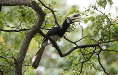 Singapore (richard.mcmanus.) Tags: mcmanus piedhornbill hornbill wildlife animal bird singapore explore